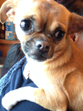 toby-pup